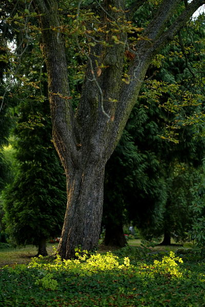 Chestnut Tree Park Evening Light Evening Sun Plant Tree Nature Tree Trunk Forest Trunk No People Land Beauty In Nature Growth Day Green Color Flower Tranquility Outdoors Environment Non-urban Scene Flowering Plant Scenics - Nature Grass WoodLand