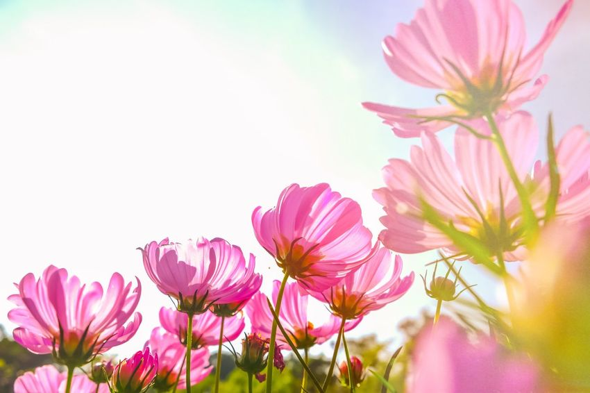 Garden Flower Beauty In Nature Pink Color Petal Nature Fragility Growth Outdoors Freshness Flower Head No People Plant Blooming Close-up Day Sky