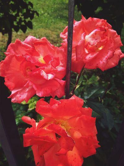 Roses World 🌹❤️🌹 Outdoors Garden Roses Rose🌹 Garden Rose Garden Photography Garden Flower Head Flower Red Rose - Flower Plant Blooming