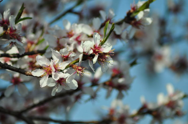 Beauty In Nature Cherry Blossom Flower Growth