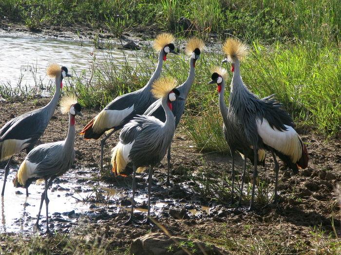 Crownbirds