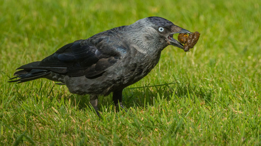 Animal Animal Themes Beauty In Nature Bird Black Color Close-up Day Field Focus On Foreground Grass Grassy Green Green Color Growth Jackdaw Eating Poo Nature No People Outdoors Selective Focus Wildlife