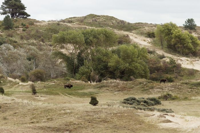 Dunes Of Holland Wisent European  Bison Plant Tree Sky Tranquility Land Nature Day Beauty In Nature Landscape Scenics - Nature