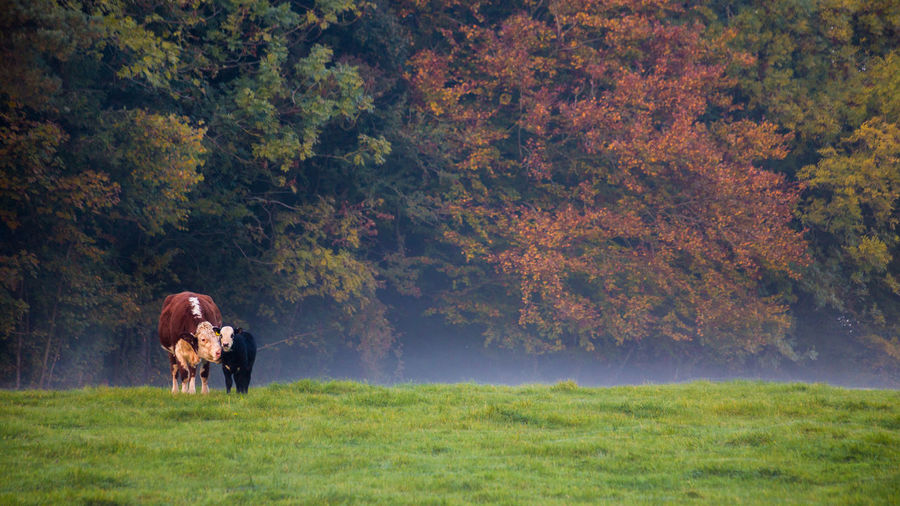 Cow with calf standing on field during autumn