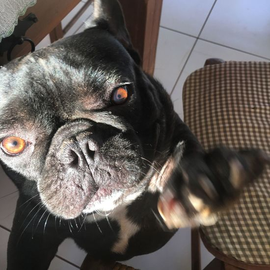 Pets Domestic Canine Dog One Animal Domestic Animals Animal Themes Animal Head  Home Interior Furniture Animal Body Part No People Mammal Looking At Camera Close-up Animal Boxer Vertebrate Portrait Indoors