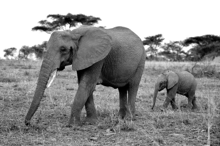 Elephant with calf walking on grassy field against clear sky