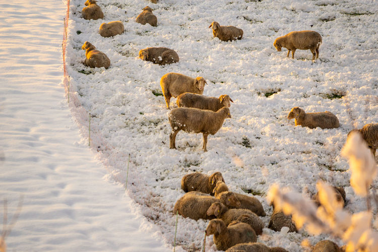 Many sheeps on a snowy field Snow Winter Cold Temperature Animal Themes Animal Group Of Animals Animals In The Wild Animal Wildlife Nature Mammal Vertebrate Large Group Of Animals No People Day Beauty In Nature Domestic Animals Young Animal Livestock Herd Shaeeps Winter