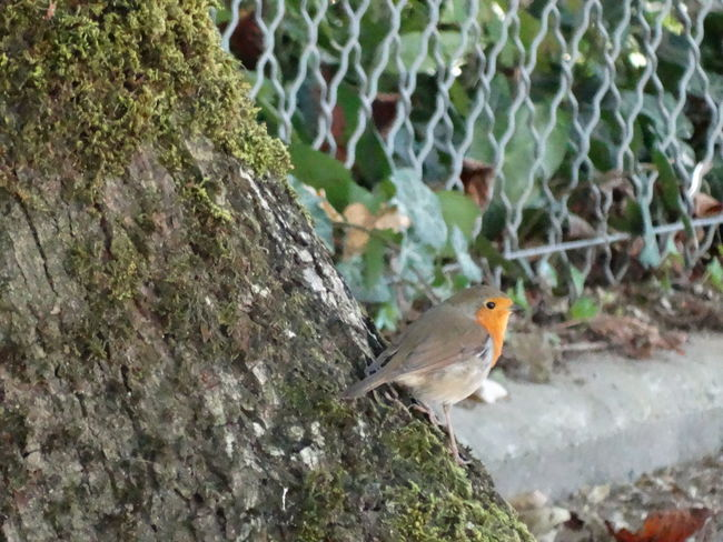 ENGLISH ROBIN Animal Themes Animal Wildlife Animals In The Wild Beautiful Bird Beauty In Nature Bird Close-up Cute Bird Day Little Bird Nature No People One Animal Outdoors Perching Robin Rouge Gorge