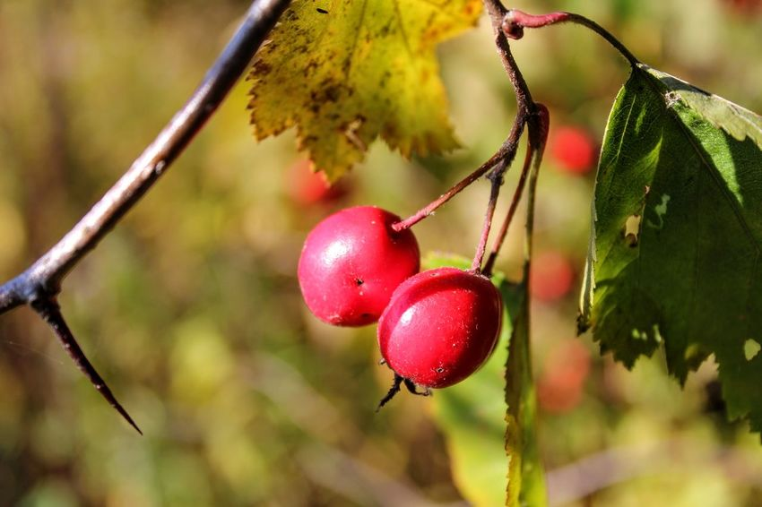 Beauty In Nature Branch Briar Berries Canker-rose Close-up Day Dogrose Eglantine Focus On Foreground Freshness Fruit Growth Nature No People Outdoors Red Tree