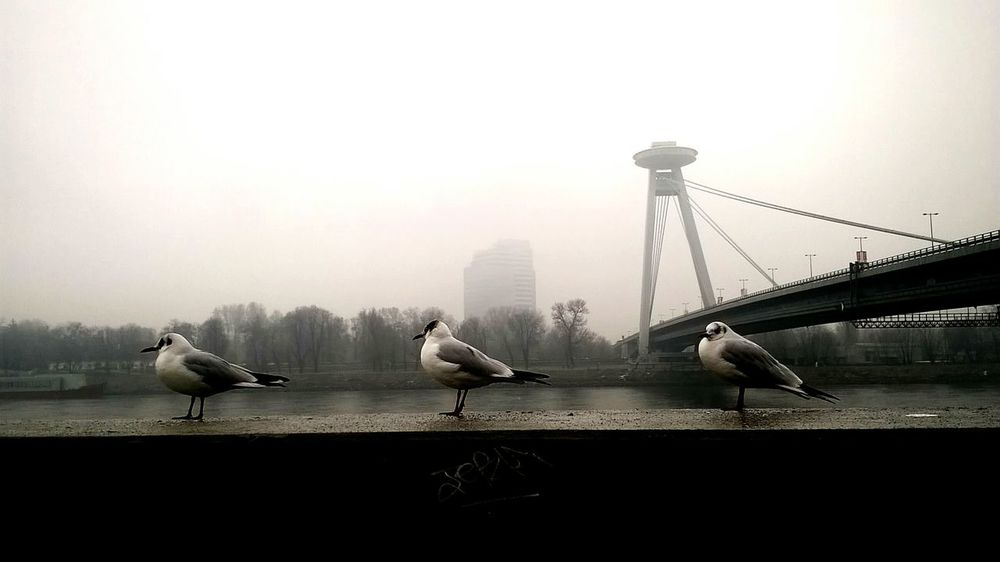 Most Snp Danube Bird City Fog Bridge - Man Made Structure Silhouette Cityscape Sky Seagull