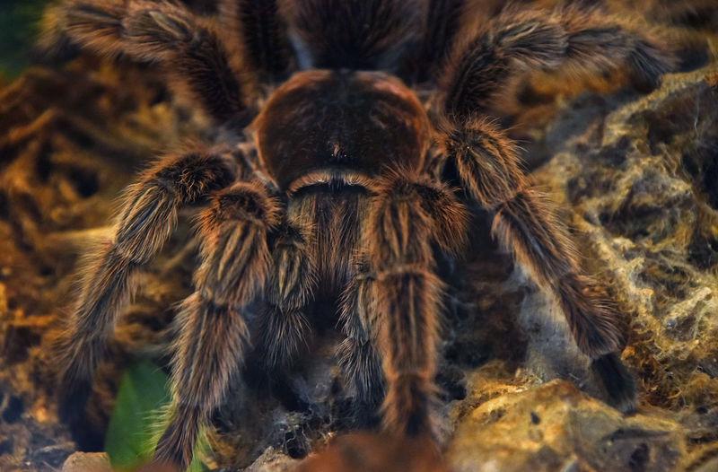 Close-up of tarantula on field
