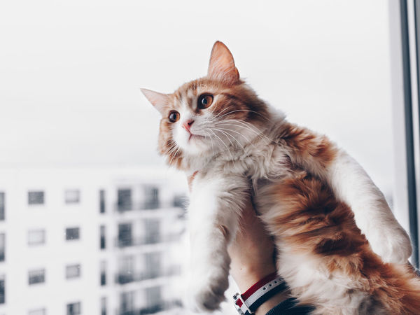 A red cat looking at the window Hands Pets Corner Animal Themes Cats Close-up Day Domestic Animals Domestic Cat Feline Indoors  Looking Mammal No People One Animal Pets Red Cat Window