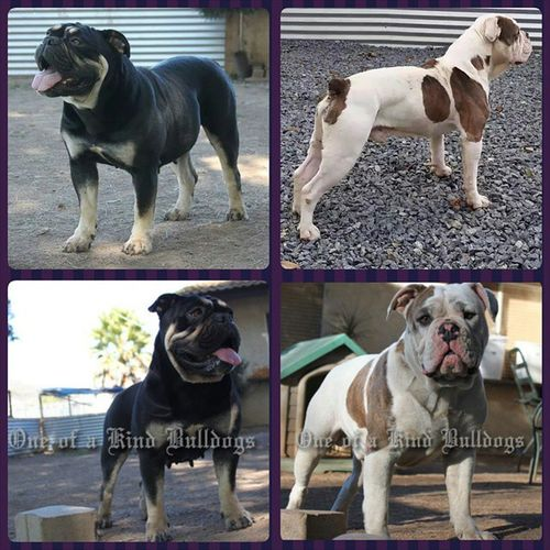 One of a Kind's CoCo Channel aka Chanel and One of a Kind's He's Got Swagger aka MoJo pups due mid February. These will be some awesome pups, can't wait! :-) Oneofakindbulldogs Bulldogs Bulldog Oldeenglishbulldogges oldeenglishbulldogge oldenglishbulldogs oldenglishbulldog premierbreeder oeb oebpuppies puppiesforsale bulldogges keepitbully staybully bullylife SanDiego SoCal californiadreamin SD lovemylife dogoftheday follow4follow victorianbulldogs bullyinstagram bullyinstafeature