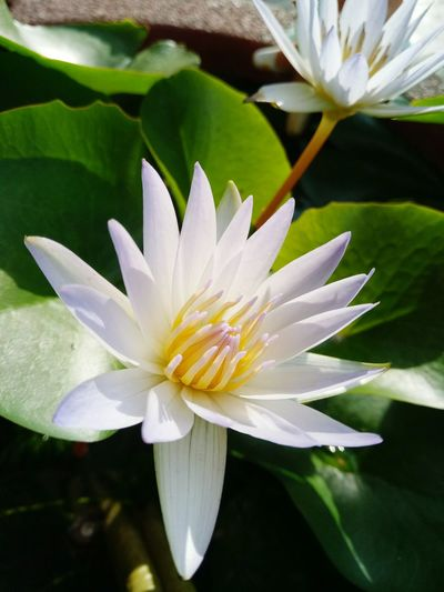 White lotus Flower Nature Beauty In Nature Fragility Flower Head Close-up Lotus Water Lily Growth Water Lily Outdoors Freshness Plant