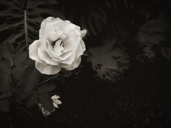 Wihte Rose Rose🌹 Blackandwhite Photography