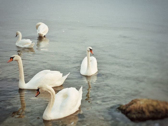 Iphonephotography Ocean Sea Swans Bird Animal Themes Water Animal Animals In The Wild Group Of Animals Vertebrate Medium Group Of Animals Beauty In Nature Nature Water Bird Animal Wildlife Lake Swimming No People Day Zoology Swan Mute Swan Cygnet