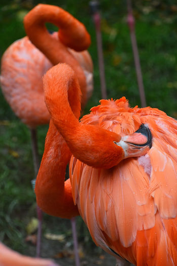 Beautiful red flamingo birds After The Rain Animal Themes Animals Beauty In Nature Bird Photography Birds Break Close-up Coral Colored Day Feather  Flamingo Nature Outdoors Preening Prink Red Two Vibrant Color Vivid Wildlife Zoo