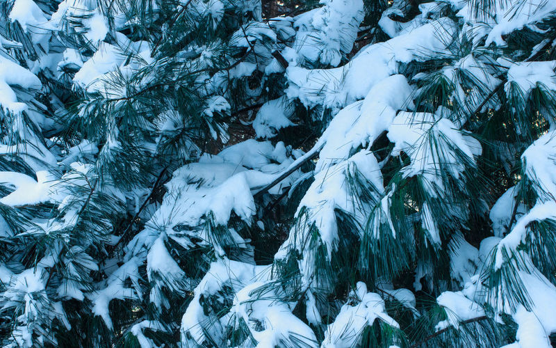 Blankets of Snow Pine Trees Pine Needles Snow Close-up Blankets Nature Frozen Green White Canon Tennessee Winter