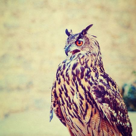 Nature Animals Birds Eagleowl