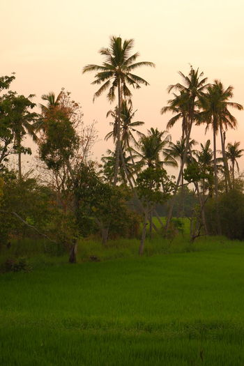 Scenic view of palm trees on field against sky