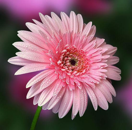 Beauty In Nature Blooming Close-up Flower Flower Head Freshness Gerbera Daisy Gerbera Flower Gerberaflower No People Pink Color Pollen
