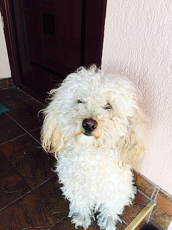 Dogs Beidge Animals Name: Rocky Pure