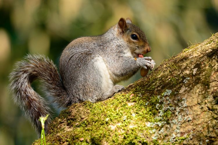 Animal Themes Animals In The Wild Beauty In Nature Check This Out Close-up Cute Day Eating Eye4photography  EyeEm Best Shots EyeEm Gallery EyeEm Nature Lover Grey Grey Squirrel Nature Nature Photography Nature_collection Naturelovers No People Outdoors Squirrel Squirrel Eating Taking Photos Tree Wildlife