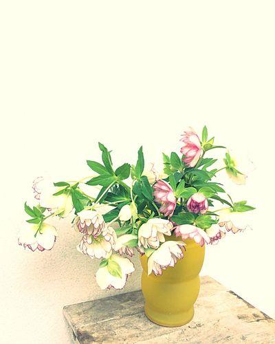 リスマスローズももうおしまいです Flowerporn Flowers IPhoneography