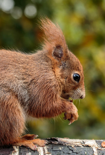 Close-up of red squirrel on branch