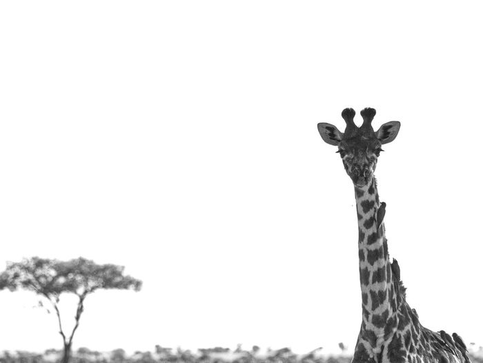 Giraffe with oxpeckers, Mara Triangle, Masai Mara National Reserve, Kenya EyeEmNewHere Mara Triangle Masai Mara National Reserve Oxpecker Animal Themes Animal Wildlife Animals In The Wild Beauty In Nature Bird Black And White Close-up Day Giraffe Low Angle View Mammal Nature No People One Animal Outdoors Portrait Safari Animals Sky Tree