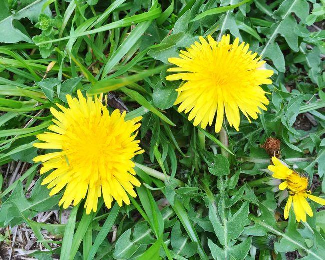spring has come ! EyeEmJapan EyeEm Hello World Enjoying Life EyeEm Nature Lover Spring Dandelion Taraxacum タンポポ 春 Flowers 春が来た