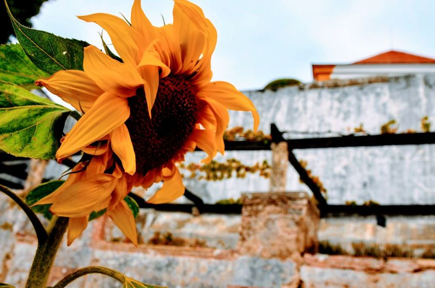 Sun flower Flower Petal Freshness Fragility Nature Beauty In Nature Growth No People Outdoors Close-up Day Focus On Foreground Springtime Architecture Flower Head Plant Blooming Sky
