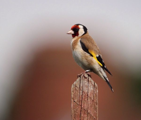 Gold Finch Perching On Wood