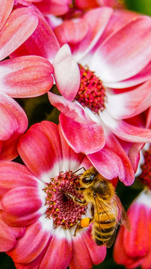 Flowers and honey bee Animal Themes Animal Wildlife Animals In The Wild Beauty In Nature Bee Buzzing Close-up Day Flower Flower Head Fragility Freshness Growth Honey Bee Insect Nature No People One Animal Outdoors Petal Pollination