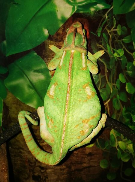 Animal Wildlife Green Color One Animal Leaf Animal Themes Nature Day Indoors  Chamaeleon Camouflage Multi Colored Nature No People Pattern Reptile Green Color