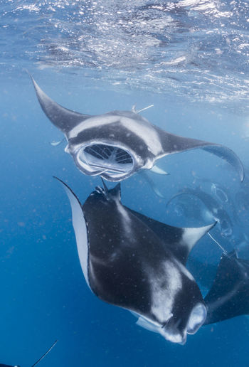 Wide angle view of a school of manta rays, in baa atoll ,madives