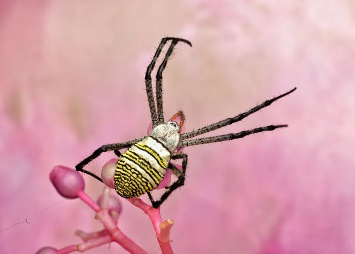 Close-up of argiope spider on flower