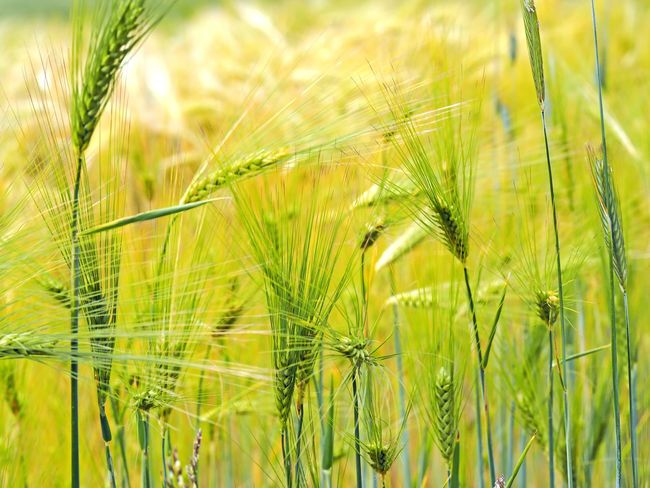 Harvest time (barley) Agriculture Barley Field Best Shots Nature Bred Day Eat Ernte Food Gerste Getreide Getreidefeld Harvest Time Landwirtschaft Macro Nature No People 😇😇😇 Outdoor Summer Yellow Color