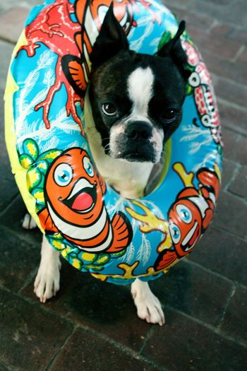 Coolboy Coolguy Boston Terrier Dog Swim Readytogoswimmingbuttocool Henry First Eyeem Photo