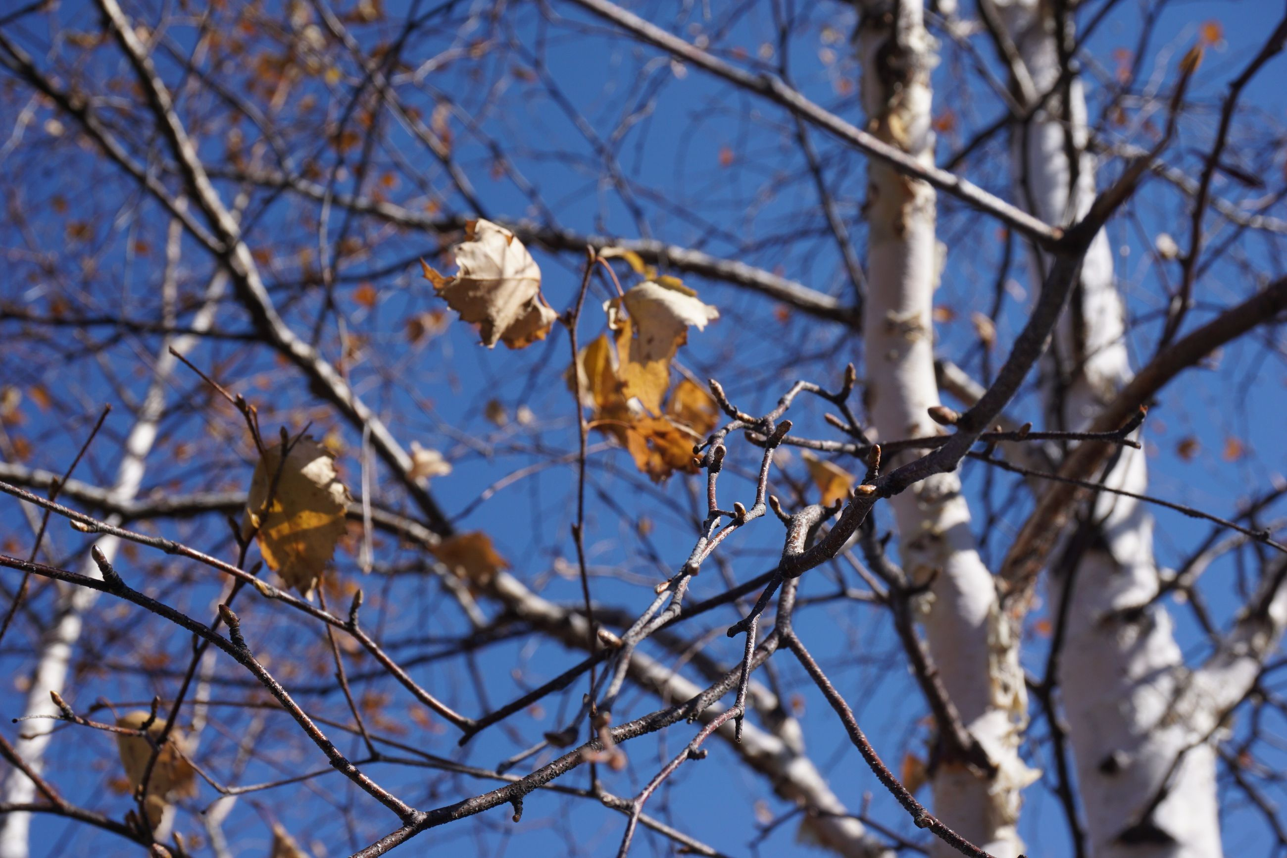 branch, tree, low angle view, growth, nature, beauty in nature, blue, flower, clear sky, bare tree, season, sky, twig, focus on foreground, freshness, close-up, fragility, outdoors, blossom, day