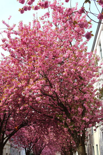Bonn Kirschblüte EyeEm Nature Lover EyeEm City Shots Tourist Attraction  Flower Flowering Plant Plant Pink Color Tree Freshness Growth Blossom Fragility Low Angle View Springtime Beauty In Nature Nature Day No People Outdoors Cherry Tree Cherry Blossom Spring