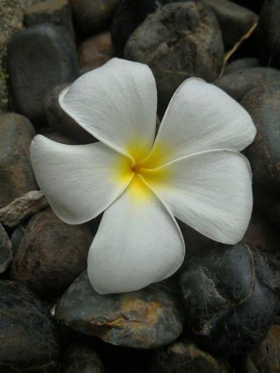 Plumeria Plumeria Flower Plumeria In Nature Plumeria White Rock Flower Head Flower Close-up In Bloom