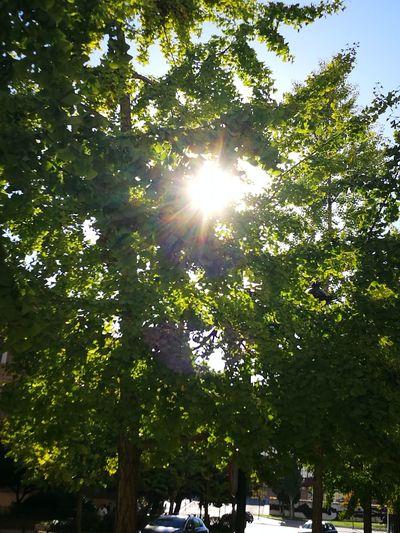 El sol, la vida, se tamiza entre las hojas del árbol de la vida, un ginkgo biloba. Es otoño. Tree Sunbeam Lens Flare Sun Sunlight Low Angle View Nature Outdoors Green Color Growth Sky Day Forest Tranquility Beauty In Nature Light Beam No People Branch