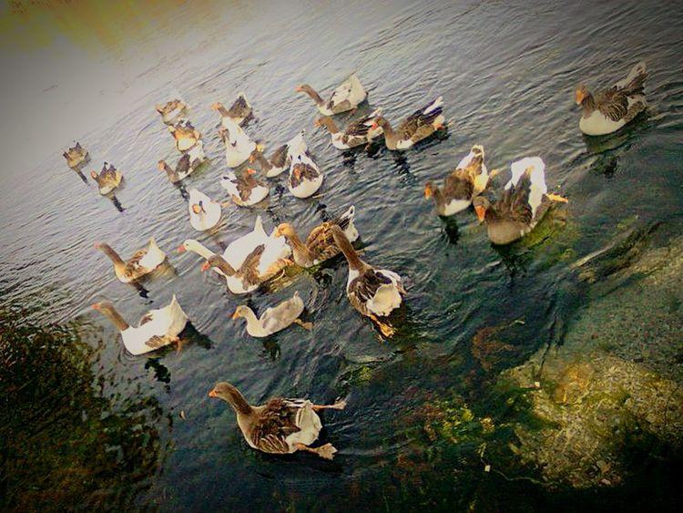 KAZ Goose Muğla Akyaka In Turkey Discoveryourcountry Turkiyekareleri