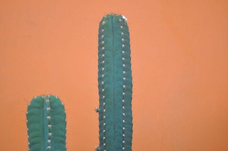 Close-up of cactus against orange wall
