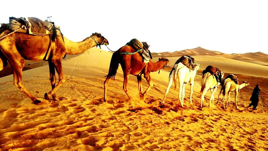 Sahara Desert Animal Themes Viaggioneldeserto Camel Working Animal Animals