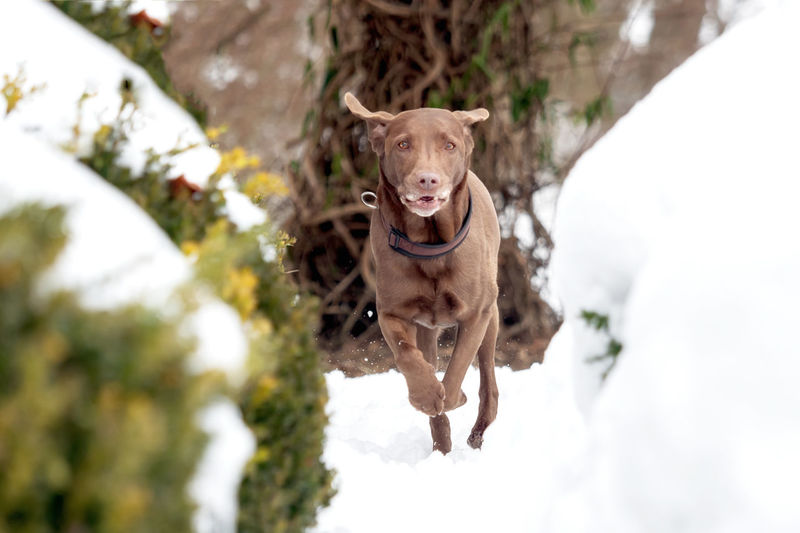 A red-brown Labrador Retriever in the snow Animal Breed Cold Cute Dog Domestic Family Friend Fur Happy Ice Labrador Labrador Retriever Nature Obedient Dog Outside Pet Playful Purebred Retriever Season  Snow White Winter Canine Pets Domestic Animals Vertebrate Mammal Animal Themes One Animal Day No People Portrait Brown Plant Looking At Camera Tree