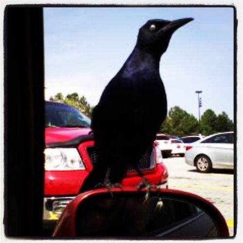 Blackbird AllEyesOnMe Dayofthebirds