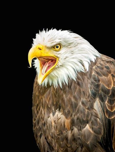 Eagle - Bird
