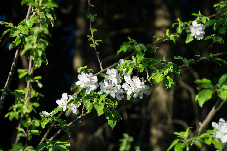 Plant Growth Flower Flowering Plant Beauty In Nature Fragility Vulnerability  Focus On Foreground Freshness Nature Day Leaf Plant Part No People Outdoors White Color Close-up Green Color Flower Head Sunlight Apple Apple Blossom Spring